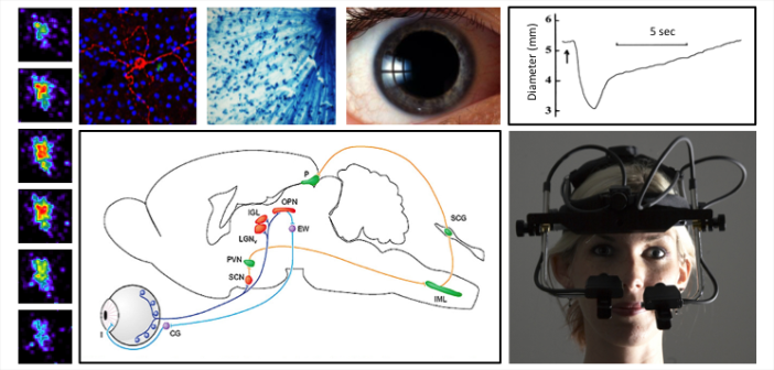 Pupil measurement, response and control in human and non-human species.
